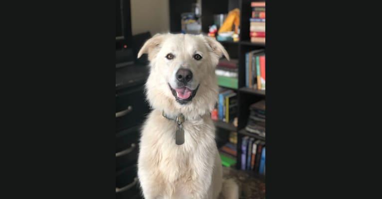 Photo of Tesla, an Anatolian Shepherd Dog and Great Pyrenees mix in Arkansas, USA