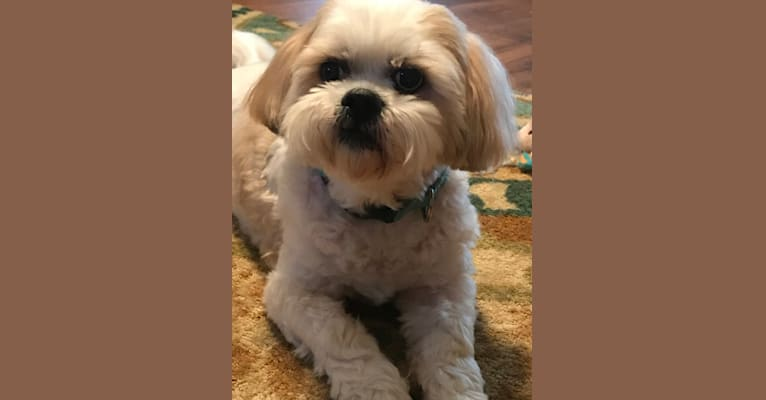 Photo of Duncan, a Lhasa Apso  in Fort Worth, Texas, USA