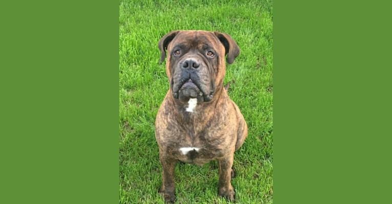 Photo of Beefy, a Bullmastiff  in Copperas Cove, Texas, USA