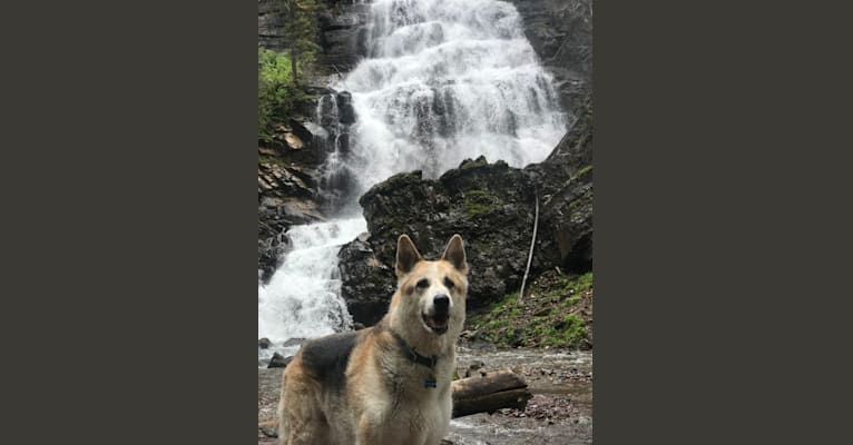Photo of Maximum, a German Shepherd Dog, Australian Cattle Dog, and Alaskan Malamute mix in Butte, MT, USA