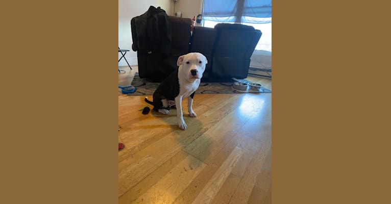 Photo of Max Lewis Cannady, an American Pit Bull Terrier and American Staffordshire Terrier mix in 1434 S Tuxedo Ave, Stockton, California, USA