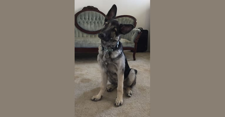 Photo of Emmy, a German Shepherd Dog  in Kerman, California, USA