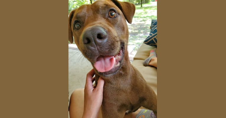 Photo of Vixen, an American Pit Bull Terrier, Chow Chow, and Rottweiler mix in Tar Heel, North Carolina, USA