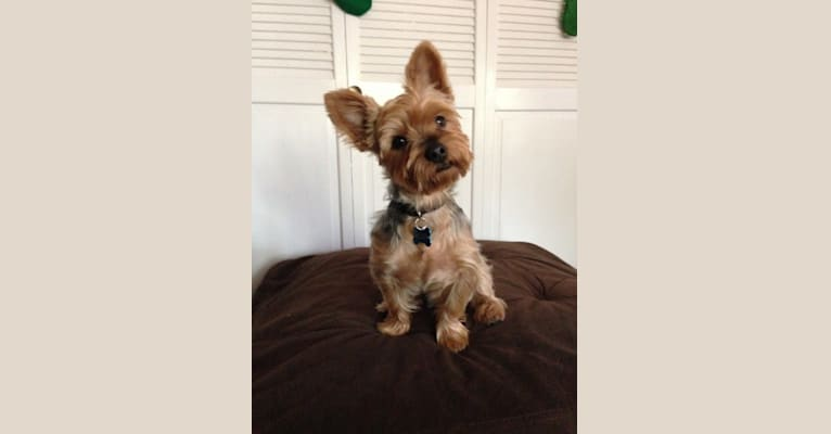 Photo of Wilson, a Yorkshire Terrier and Silky Terrier mix in Fairfield, Connecticut, USA