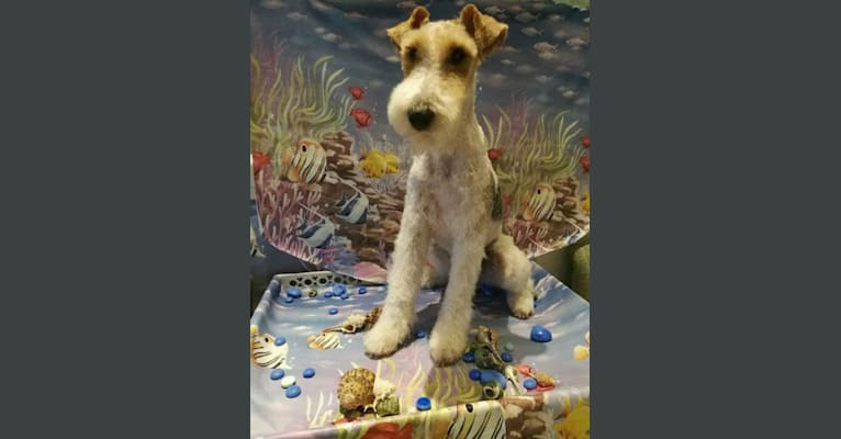 """Photo of Luca """"Luke"""", a Wire Fox Terrier  in Serbia"""