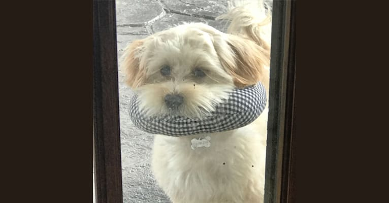 Photo of Louie, a Lhasa Apso, Havanese, and Shih Tzu mix in Buffalo, New York, USA