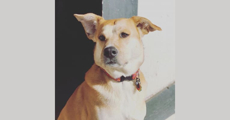 Photo of Rhodes, a Chow Chow, Labrador Retriever, American Pit Bull Terrier, Redbone Coonhound, and Mixed mix in Charleston, South Carolina, USA