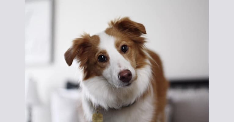 Photo of Bailey, a Collie, Shetland Sheepdog, Chihuahua, Yorkshire Terrier, Saint Bernard, and Mixed mix in Downsville, New York, USA