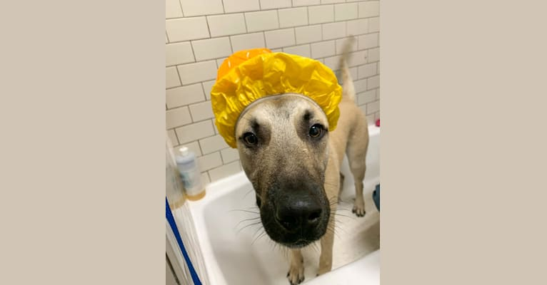 Photo of Cuckoo, an Anatolian Shepherd Dog, American Pit Bull Terrier, Australian Cattle Dog, and Labrador Retriever mix in Austin, Texas, USA