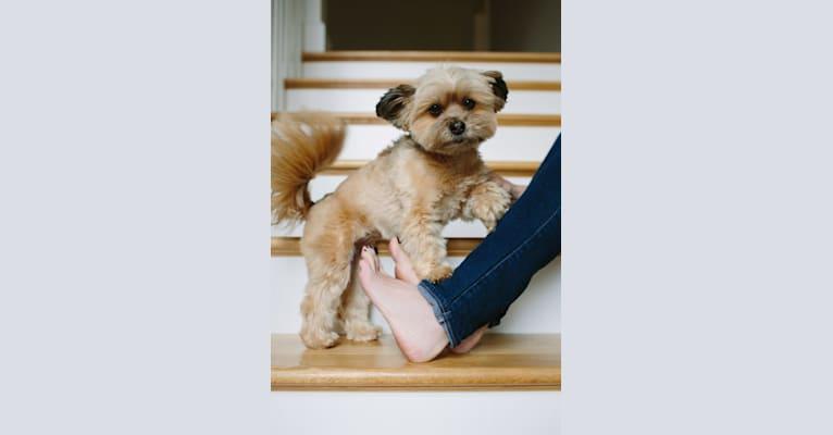 Photo of London, a Pomeranian, Shih Tzu, Yorkshire Terrier, and Pekingese mix in Oklahoma, USA