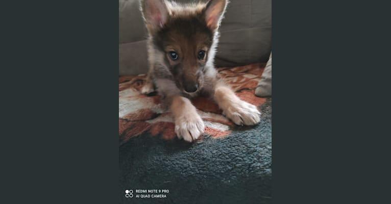 Photo of Chałka, a Siberian Husky, Alaskan-type Husky, Czechoslovakian Vlcak, Alaskan Malamute, and German Shepherd Dog mix in Jesionna, Polska
