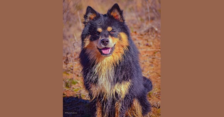 Photo of Micah, a Finnish Lapphund  in Clanton, AL, USA