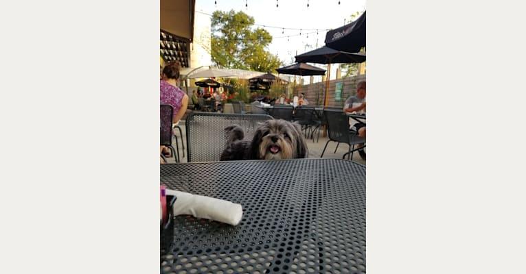 Photo of Josie, a Maltese, Shih Tzu, Pomeranian, and Poodle (Small) mix in Whitestown, Indiana, USA