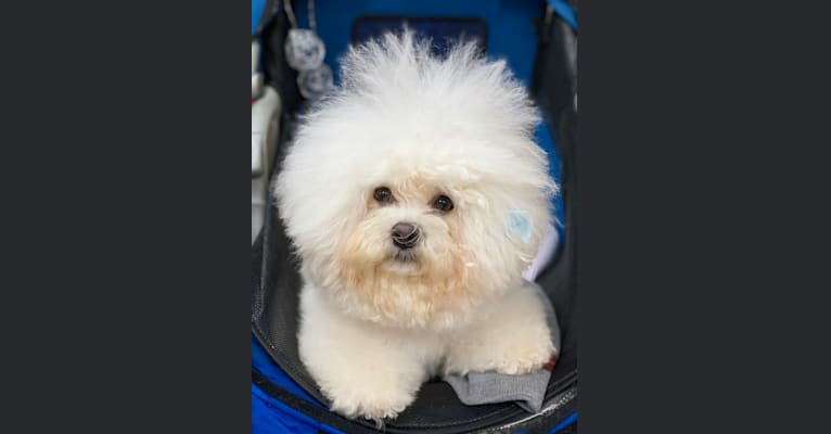 Photo of Charlotte Elizabeth, a Bichon Frise  in 4640 North Rollin Highway, Addison, MI, USA