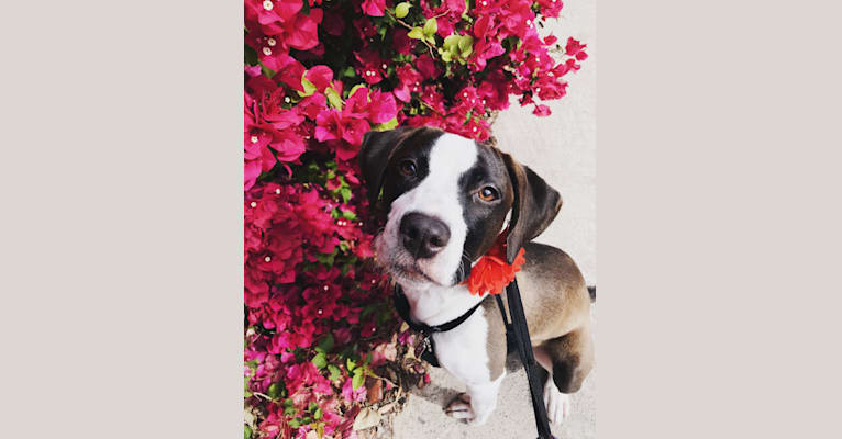Photo of Joni, an American Pit Bull Terrier, American Staffordshire Terrier, and Pomeranian mix in Los Angeles, California, USA
