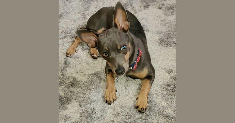 Photo of jesse, a Teddy Roosevelt Terrier  in Kentucky, USA