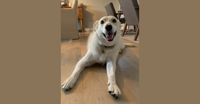 Photo of Finley, a Great Pyrenees, Border Collie, Australian Shepherd, and Australian Cattle Dog mix in Dallas, Texas, USA