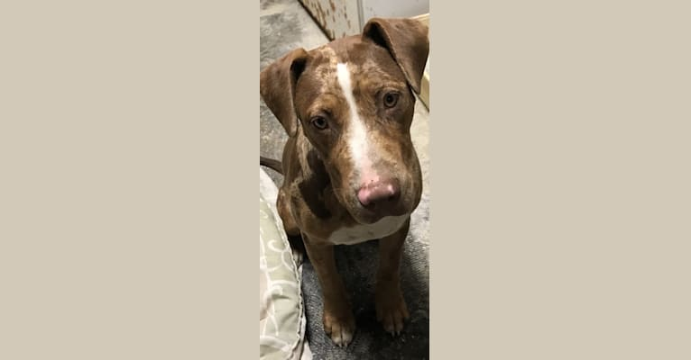 Photo of Loki, an American Pit Bull Terrier, Labrador Retriever, German Shepherd Dog, American Staffordshire Terrier, and Mixed mix in Humane Society of the Delta, Phillips Road 300, Helena, AR 72342, USA