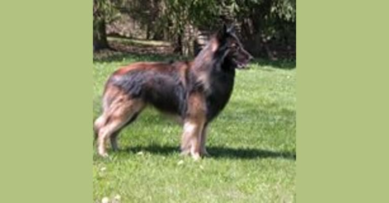 Photo of Lincoln, a Belgian Shepherd  in New York, USA