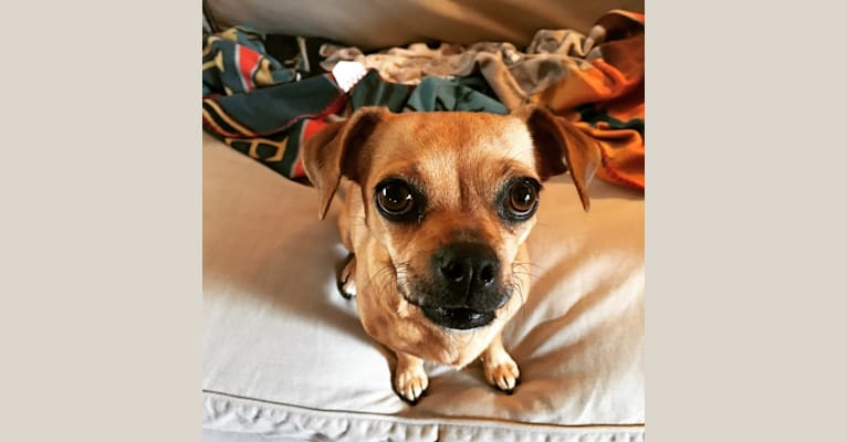 Photo of Cider, a Chihuahua, Miniature Pinscher, Poodle (Small), and Mixed mix in Los Angeles, California, USA