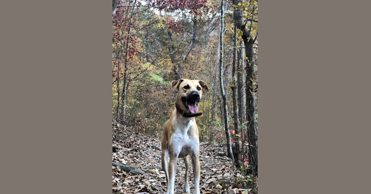Photo of Olive, an Australian Cattle Dog, Great Pyrenees, American Pit Bull Terrier, Mountain Cur, and Mixed mix