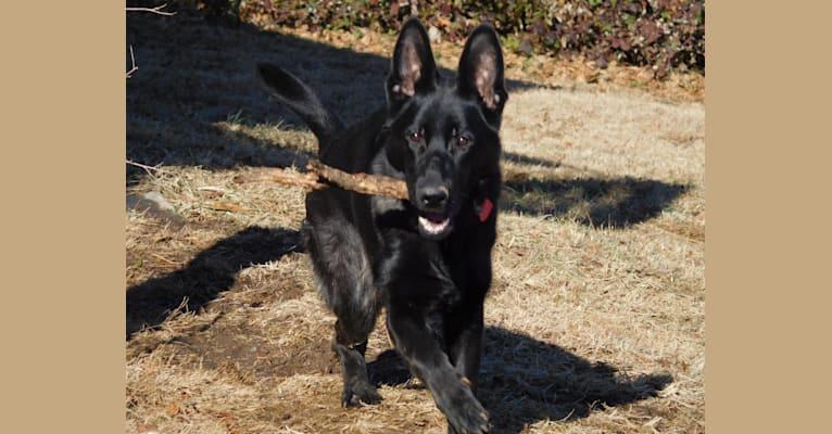 Photo of Bagheera, a German Shepherd Dog
