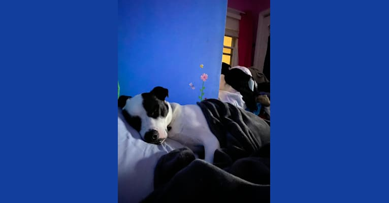Photo of Wolfie, an American Pit Bull Terrier, Australian Shepherd, and American Staffordshire Terrier mix in Fort Lee, New Jersey, USA
