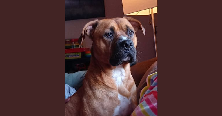 Photo of Leia, an American Bully, American Pit Bull Terrier, Rottweiler, Boxer, and Mixed mix in Oklahoma, USA