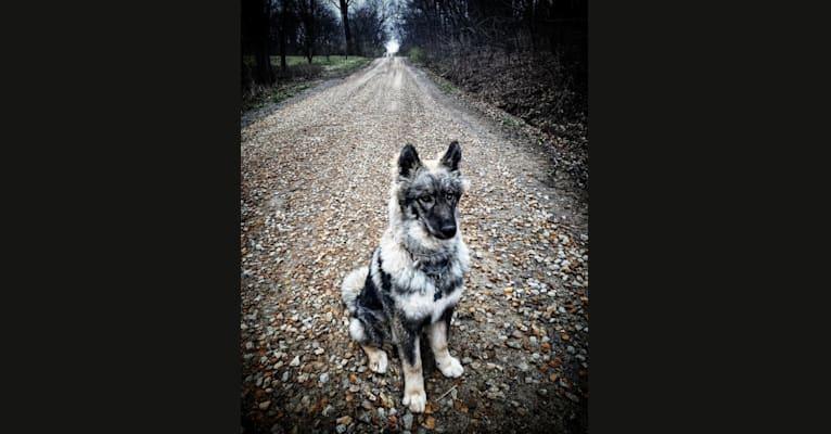 Photo of Koda, a Siberian Husky