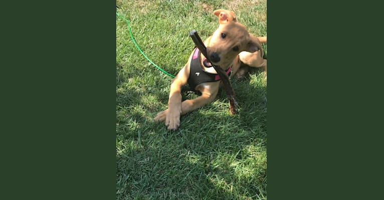 Photo of Penny, a Collie, Boxer, and American Pit Bull Terrier mix in West Virginia, USA