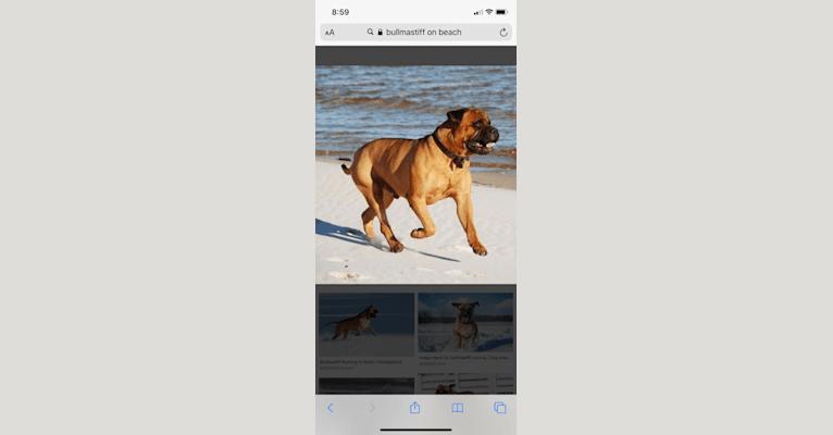Photo of Nala, a Bullmastiff  in Yonkers, New York, USA