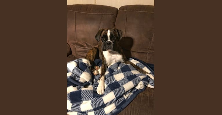 Photo of Kali, a Boxer  in Harmony, NC, USA