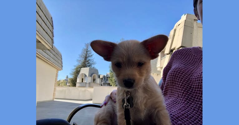 Photo of Retro, a Chihuahua, Poodle (Small), Chow Chow, Golden Retriever, German Shepherd Dog, and Labrador Retriever mix in Modesto, California, USA