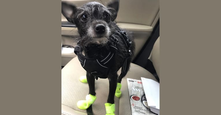 Photo of Ponyo, a Chihuahua, Rat Terrier, Poodle (Small), Pomeranian, and Mixed mix in Phoenix, Arizona, USA