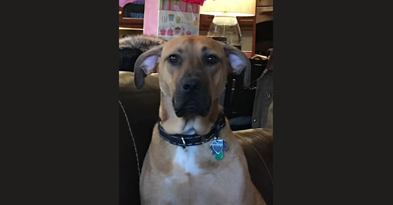 Photo of Fisher, a Redbone Coonhound, American Pit Bull Terrier, and American Staffordshire Terrier mix in Wirtz, Virginia, USA