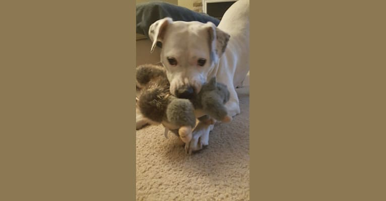 Photo of Pickles, an American Pit Bull Terrier and American Staffordshire Terrier mix in Livonia, New York, USA