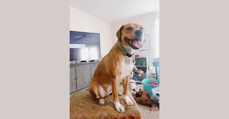 Photo of Hattie, a Boxer, American Pit Bull Terrier, and Great Pyrenees mix in Watertown, New York, USA