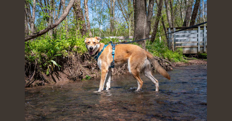 Photo of Marley, a German Shepherd Dog, Australian Shepherd, Treeing Walker Coonhound, and Labrador Retriever mix in Tennessee, USA