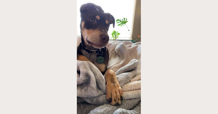 Photo of Woodrow, an American Village Dog and American Pit Bull Terrier mix in Cancún, Quintana Roo, Mexico