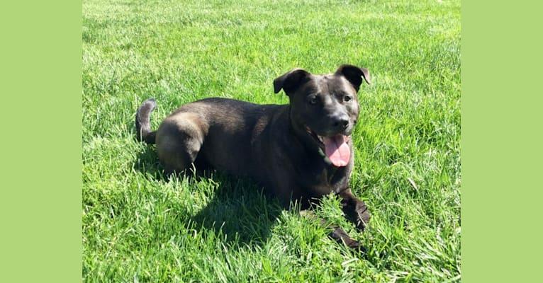 Photo of Luna, an American Pit Bull Terrier, Norwegian Elkhound, and German Shepherd Dog mix