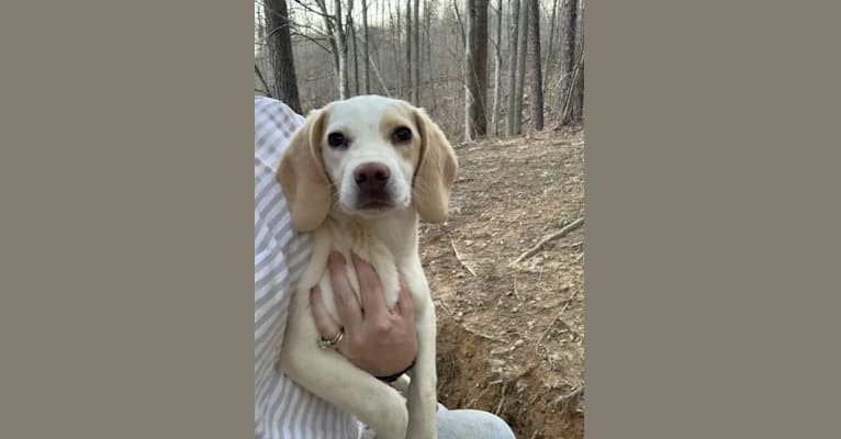 Photo of Sunny, a Beagle  in Viper, Kentucky, USA