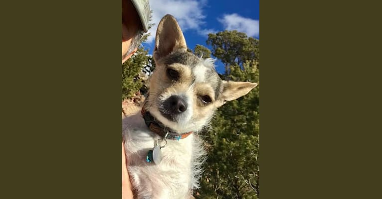 Photo of Rue, a Chihuahua, Yorkshire Terrier, Poodle (Small), and Mixed mix