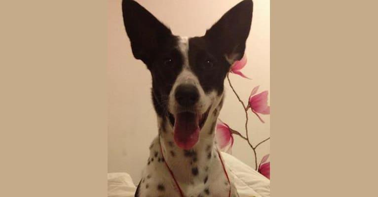 Photo of Scottie, an Arabian Village Dog  in Dubai, Dubai, United Arab Emirates