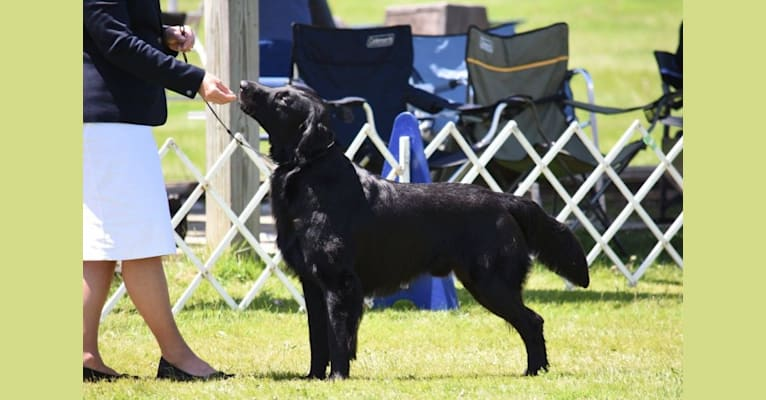 Photo of Tucker, a Flat-Coated Retriever  in Marcellus, New York, USA