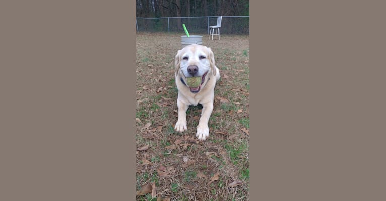 Photo of Jett, a Labrador Retriever, American Pit Bull Terrier, and Bloodhound mix in Walton County Animal Control, South Madison Avenue, Monroe, GA, USA