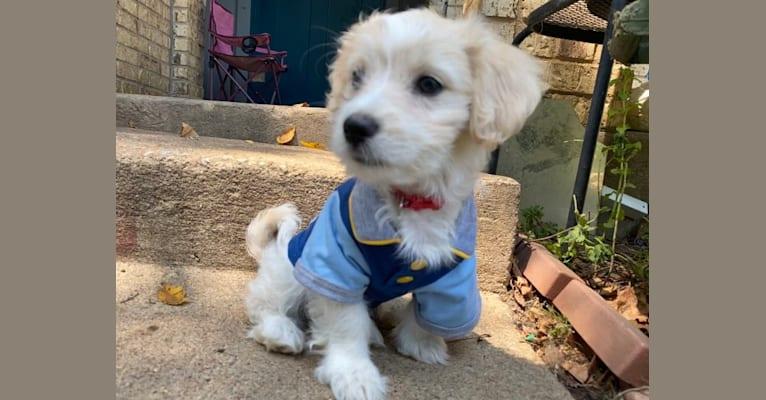 Photo of Murphy, a Maltese, Shih Tzu, Chihuahua, and Miniature Pinscher mix in Texas, USA