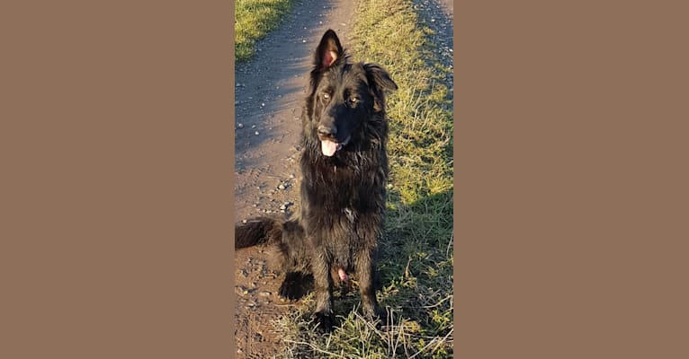 Photo of Jaromir, a German Shepherd Dog  in Rheinbach, Nordrhein-Westfalen, Deutschland