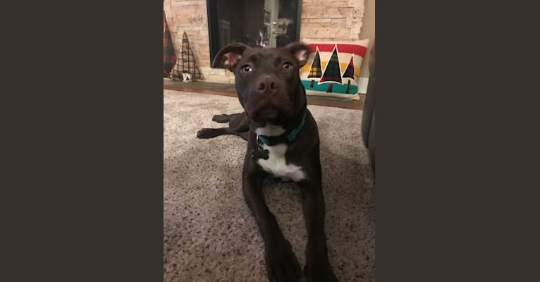 Photo of Hazel, an American Pit Bull Terrier, American Staffordshire Terrier, Labrador Retriever, Boxer, and Mixed mix in Alabama, USA