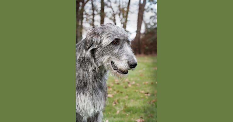 Photo of Gaia, an Irish Wolfhound