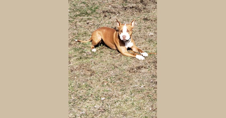Photo of Luca, an American Pit Bull Terrier  in Lebanon, Connecticut, USA